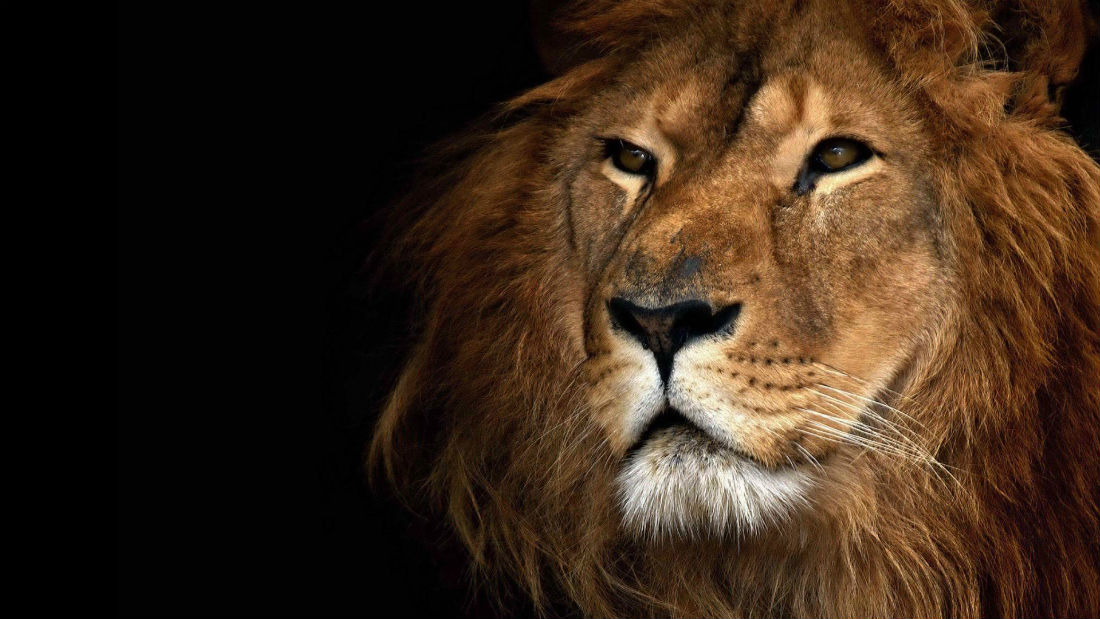 lion-and-hd-275814