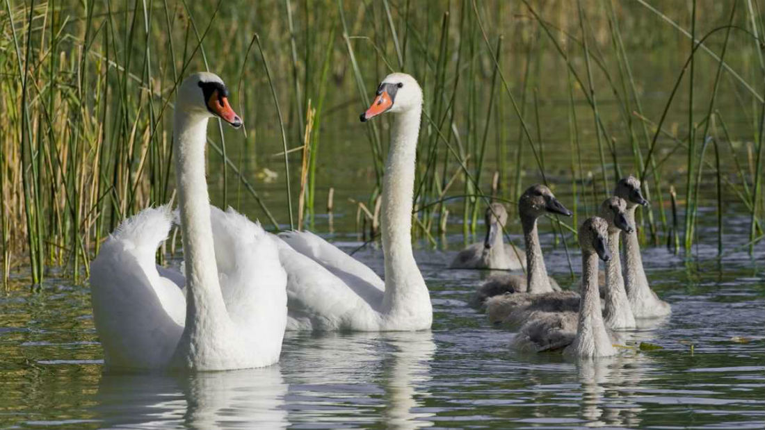 Swans, procurement and sustainability – what's the link? It's ...